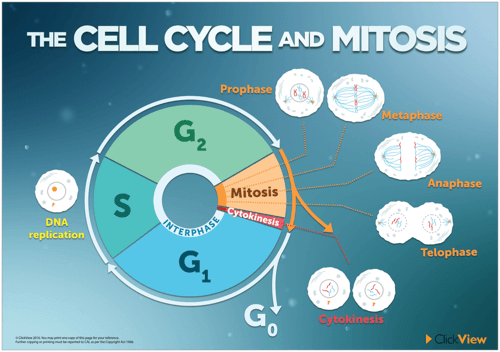 The Cell Cycle and Mitosis Poster
