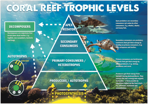 Coral Reef Trophic Levels Poster